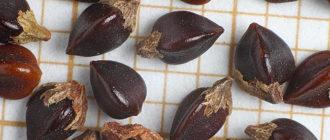 Семена спорыша