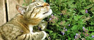 Кошка и мята