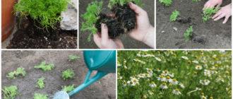 Выращивание ромашки