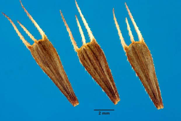 Семена череды