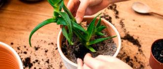 Как посадить алоэ?