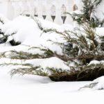 Можжевельник в снегу