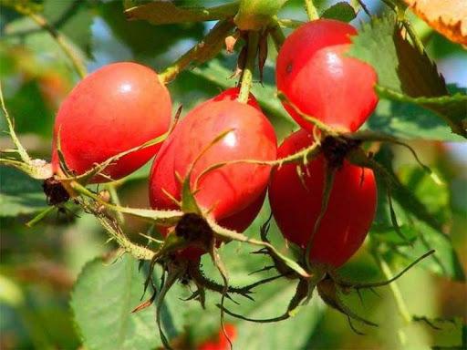 Яблочный шиповник