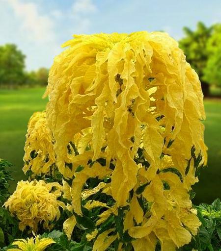 Жёлтый амарант